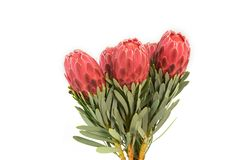 Protea flowers bunch. Blooming Red King Protea Plant over white background. Extreme closeup. Holiday gift, bouquet, buds. One. Beautiful fashion flower macro royalty free stock photo