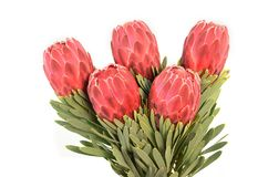 Protea flowers bunch. Blooming Red King Protea Plant over white background. Extreme closeup. Holiday gift, bouquet, buds. One. Beautiful fashion flower macro royalty free stock images