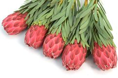 Protea flowers bunch. Blooming Red King Protea Plant over white background. Extreme closeup. Holiday gift, bouquet, buds. One. Beautiful fashion flower macro stock image
