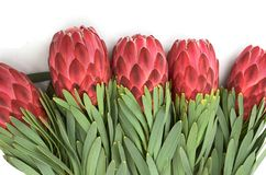 Protea flowers bunch. Blooming Red King Protea Plant over white background. Extreme closeup. Holiday gift, bouquet, buds. One. Beautiful fashion flower macro royalty free stock image