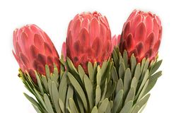 Protea flowers bunch. Blooming Red King Protea Plant over white background. Extreme closeup. Holiday gift, bouquet, buds. One. Beautiful fashion flower macro stock photos