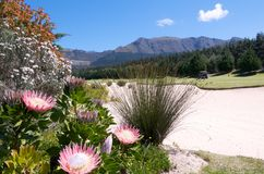 Protea Flowers on Golf course cape Town Royalty Free Stock Photo
