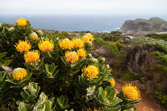 Protea flowers growing on the rocks Stock Photos