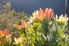 Protea flowers in the morning light. Protea flowers in the bright morning light outdoors royalty free stock photos