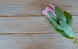 Protea flowers on a table. Protea flowers cut and lying on a wooden table Stock Image