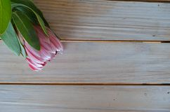 Protea flowers on a table. Protea flowers cut and lying on a wooden table Stock Images