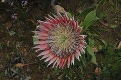 Protea géant Images stock