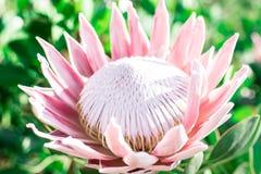 Protea grande rosado abierto en el sol imagenes de archivo
