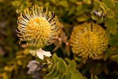 Protea jaune de pelote à épingles (Leucospermum) Images stock