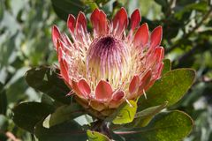 Protea in Kirstenbosch Botanical Gardens Royalty Free Stock Image