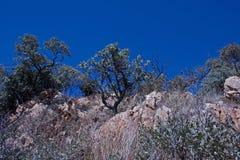 PROTEA krzaki PRZY wierzchołkiem wzgórze PRZECIW niebieskiemu niebu obrazy stock