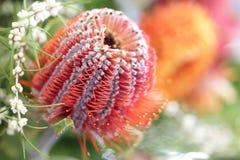 Protea kwiat Fotografia Stock