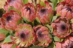 Protea kwiaty Obrazy Royalty Free