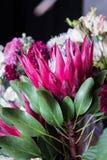 protea Kwitnący kwiat czerwony kwiat Kwiat jak koronę Obrazy Royalty Free