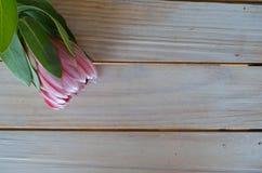 Protea kwitnie na stole Obrazy Stock