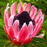 Protea longifolia long leaf sugarbush tropical flower. Protea longifolia long leaf sugarbush Royalty Free Stock Image