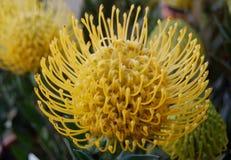 Protea Lueucospernum Stock Image