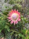 Protea nella riserva naturale di Helderberg Immagine Stock