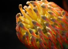 Protea orange flower Stock Photography