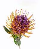 Protea Pincushions Стоковая Фотография RF