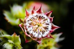 Protea południe - afrykańska kwiatonośna roślina fotografia royalty free