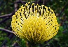 Protea Południowa Afryka zdjęcie royalty free