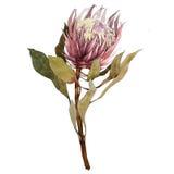 Protea Proteya Стоковые Фотографии RF