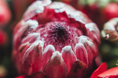 Protea and ranunculuses Bouquet on a blured gray background.  Royalty Free Stock Photography