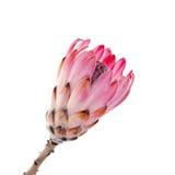 Protea rosa su bianco Fotografia Stock