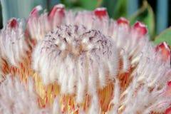 Protea rosado del hielo Fotografía de archivo