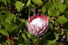 Protea rosado entre las hojas verdes Foto de archivo libre de regalías
