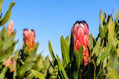 Protea rosso della montagna fotografia stock