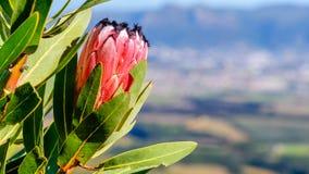 Protea rosso della montagna immagini stock