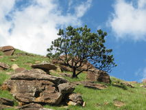 Protea shrub in drakensberg  Royalty Free Stock Images