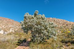 Protea tree on the trail to the Maltese Cross. A protea tree on the Bokveldskloof Trail to the Maltese Cross near Dwarsrivier in the Cederberg Mountains stock photo