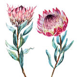 Protea tropical de la flor de la acuarela Foto de archivo libre de regalías