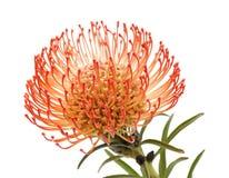 Protea vermelho isolado Imagem de Stock Royalty Free