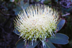 Protea Wagontree Стоковые Изображения RF