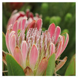 Protea in wildernis Stock Foto