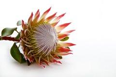 Proteablume lokalisiert auf weißem Hintergrund Stockfotografie
