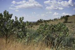 Proteabomen Zuid-Afrika Stock Foto's
