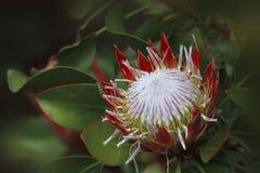 Proteaceae Sugarbush Protea стоковая фотография