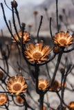 Proteas bruciati durante l'incendio violento Fotografia Stock Libera da Diritti