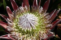 Proteas Flower Stock Photo