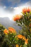 Proteas Stock Image