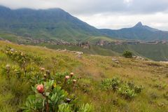 Proteas in the Maluti Mountains Stock Photos