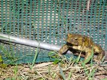 Protección de anfibios Imagen de archivo