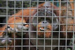 Protección de Borneo del orangután Fotografía de archivo libre de regalías
