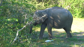 Protección de la herencia de la naturaleza Verdes salvajes de la consumición del elefante en el parque nacional de Yala almacen de metraje de vídeo