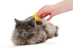 Protect the cat from ticks and fleas. Isolated on white background Stock Photo